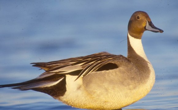 Northern Pintail - Great Salt