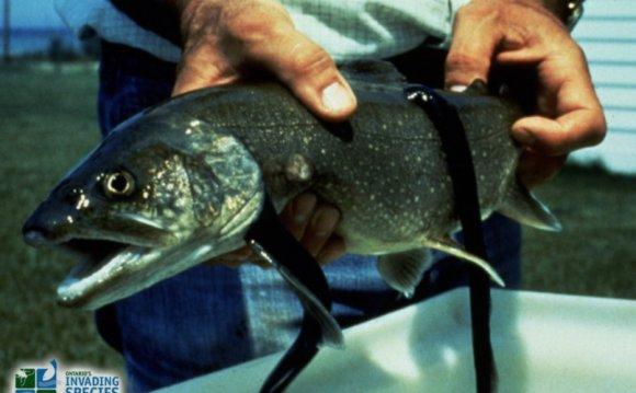Sea_lamprey-on-lake-trout