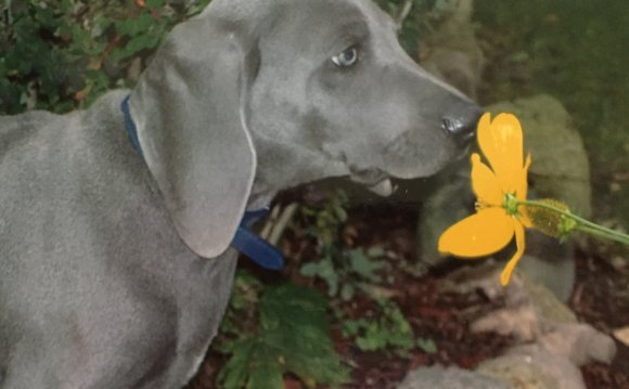 Great Lakes Weim Rescue