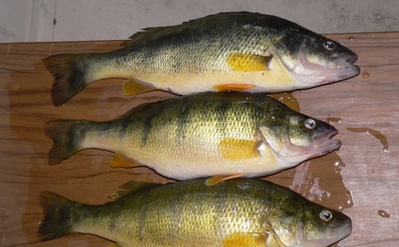 Yellow perch lake erie 44