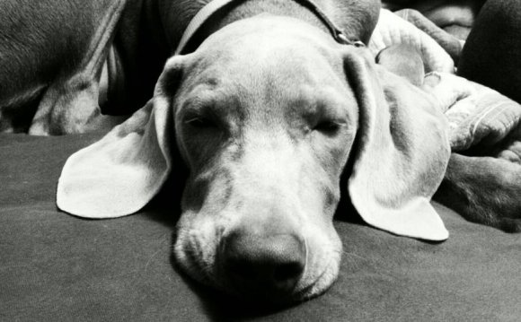 Great Lakes Weimaraner Rescue