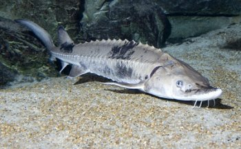 Lake sturgeon. Image source