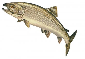 Lake Trout. Image source