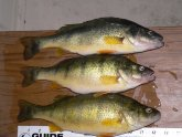 Yellow perch Lake Erie