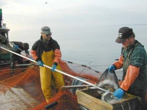 Two fisherman sorting live fish on commercial fishing boat
