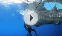Fishing Scientists free a whale shark from a fishing net
